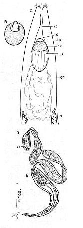 Nigerrhynchus opisthoporus