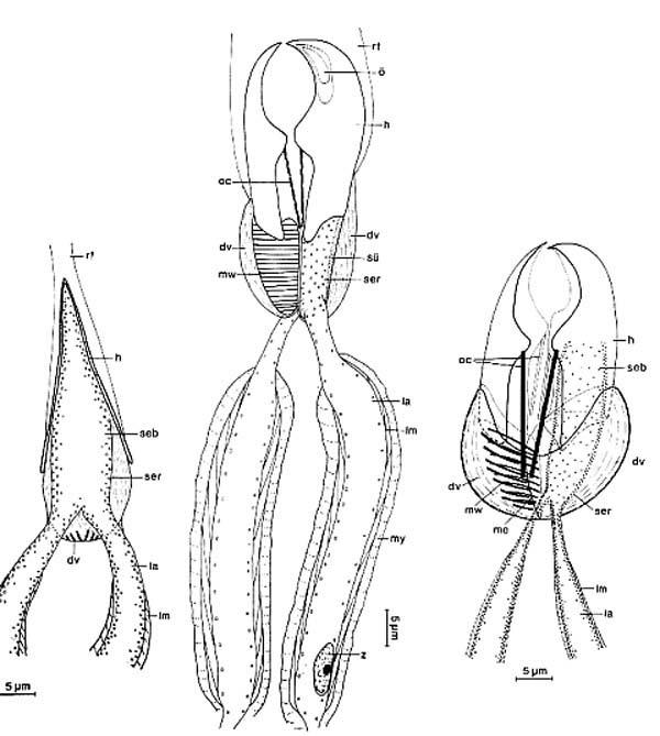 Diascorhynchus rubrus
