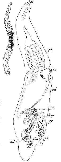 Cheliplana stylifera