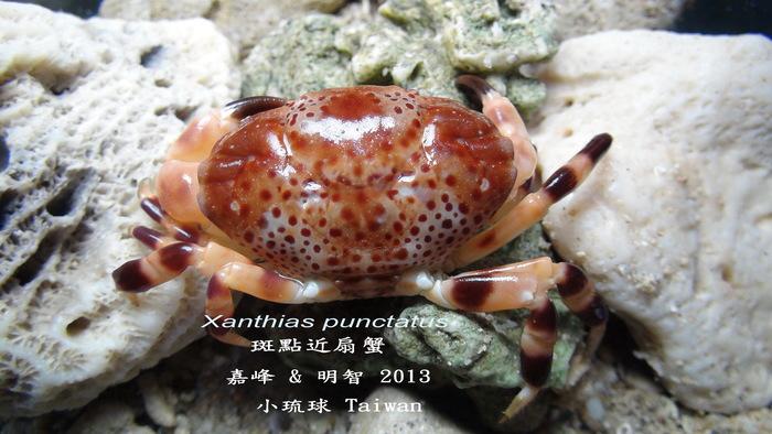 Xanthias punctatus