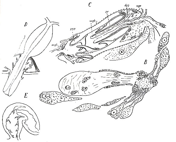 Placorhynchus octaculeatus