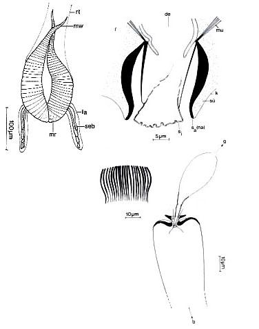 Amphirhynchus caudatus