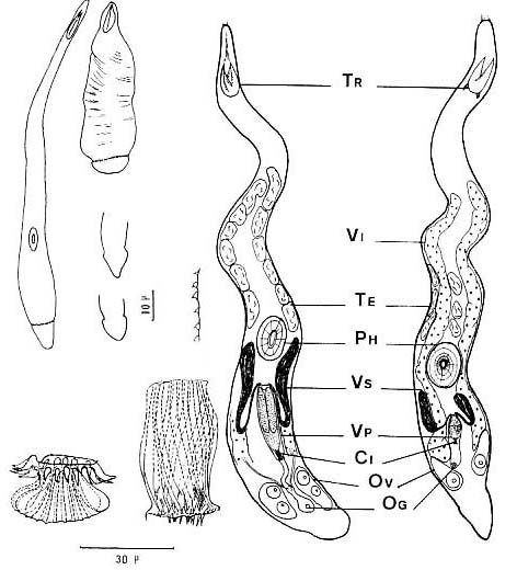 Carcharodorhynchus flavidus