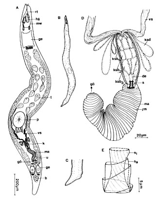 Carcharodorhynchus listensis