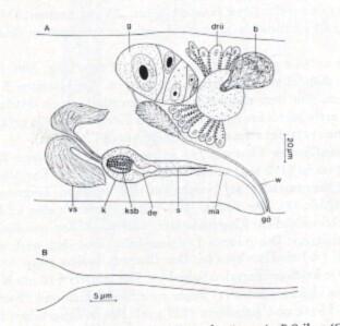Limirhynchus danicus