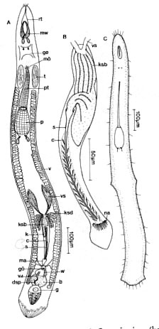Neoschizorhynchus longipharyngeus