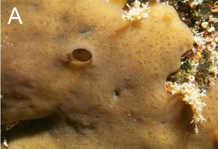 Plakortis petrupaulensis