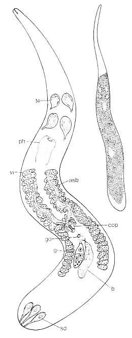 Neoschizorhynchus parvorostro