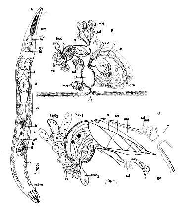 Paraschizorhynchoides glandulis