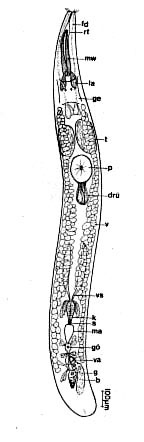 Proschizorhynchella bivaginata
