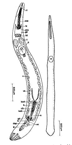 Proschizorhynchus triductibus