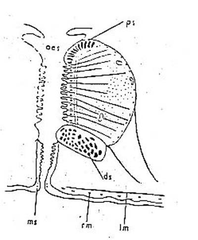 Schizochilus choriurus