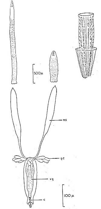 Schizochilus marcusi