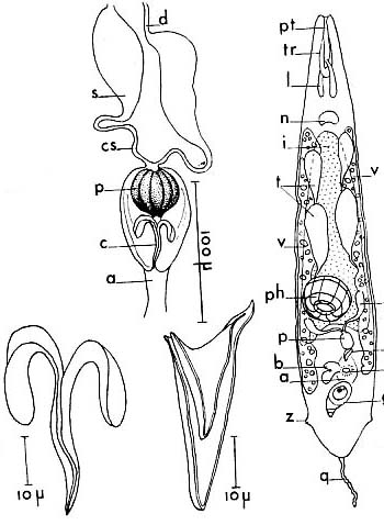 Schizorhynchoides aculeatus