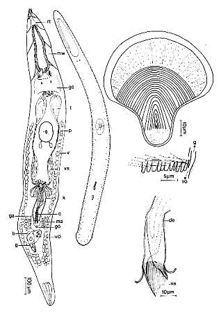 Thylacorhynchus ambronensis