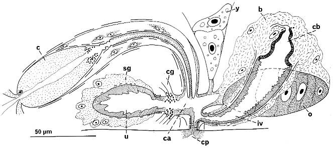 Thylacorhynchus caudatus