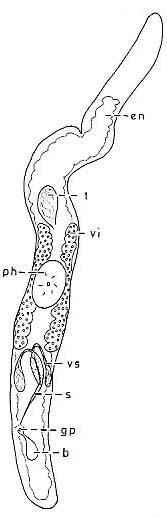 Ciliopharyngiella constricta