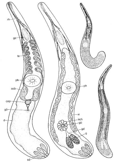 Listea simplex