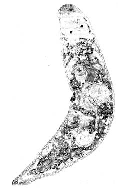 Promesostoma serpentistylum