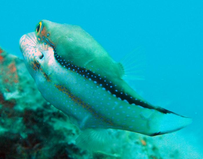Canthigaster capistrata