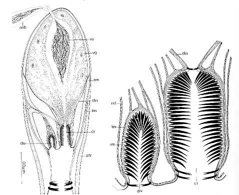 Aulopharynx aestuarius