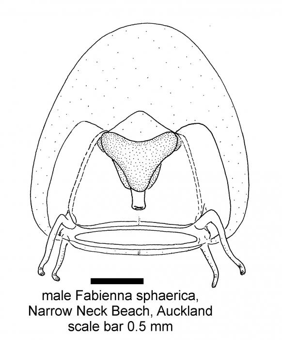 Fabienna sphaerica, adult; copyright P. Schuchert