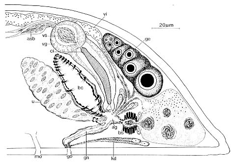 Proceropharynx litoralis
