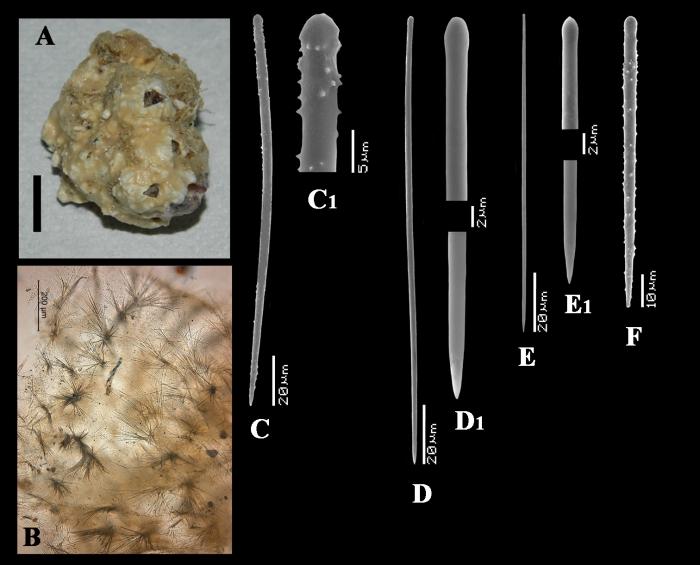 Clathria (Thalysias) vacata holotype