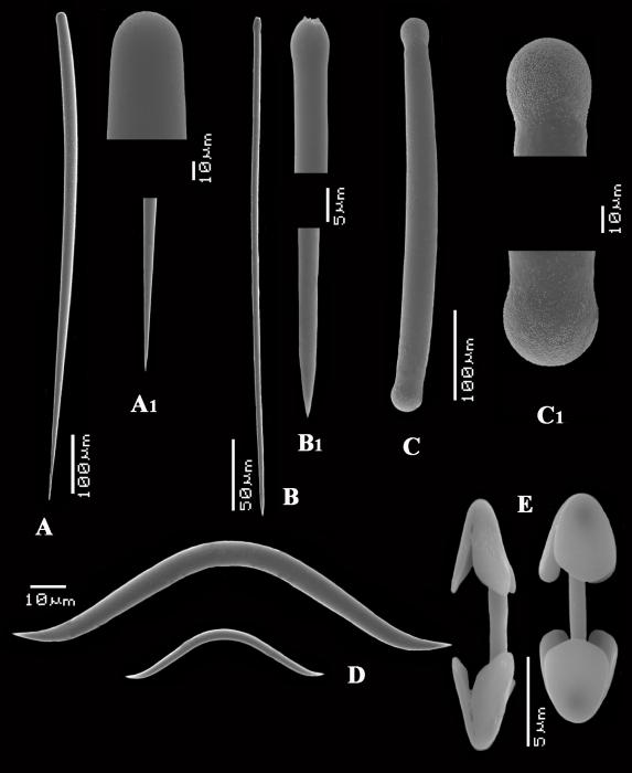 Antho (Plocamia) erecta spicules