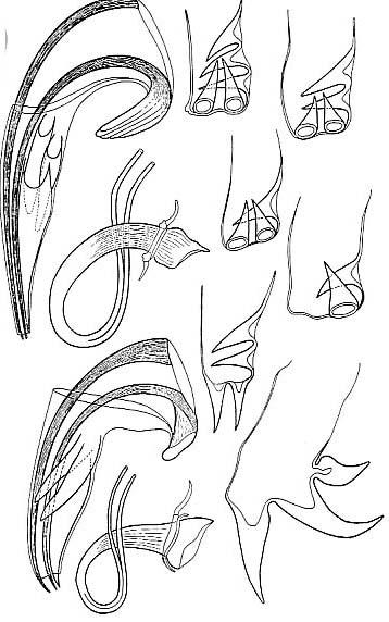 Proxenetes tenuispinosus