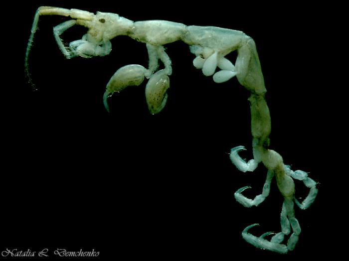 Caprella algaceus
