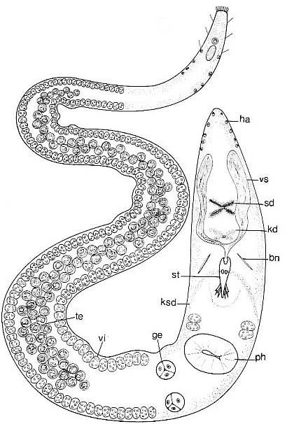 Carenscoilia biforamen
