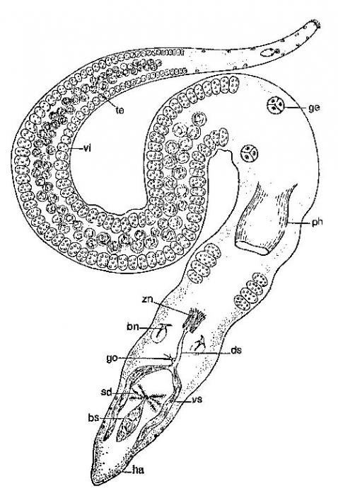 Coelogynopora axi