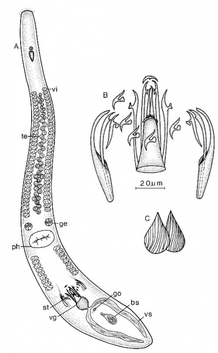 Coelogynopora forcipis