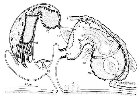 Coelogynopora forcipis