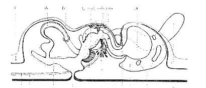 Coelogynopora gynocotyla