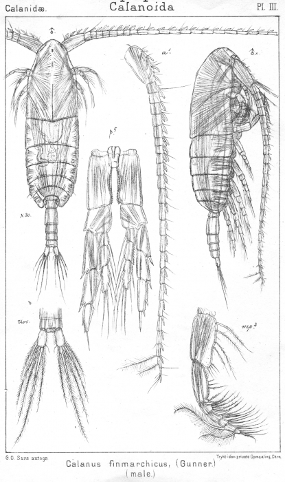Calanus finmarchicus from Sars, G.O. 1901