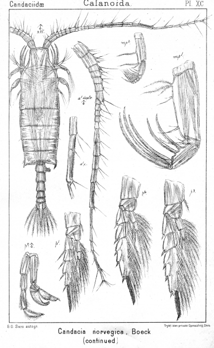 Candacia norvegica from Sars, G.O. 1902