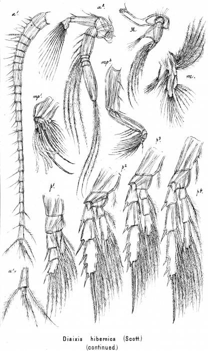 Diaixis hibernica from Sars, G.O. 1902