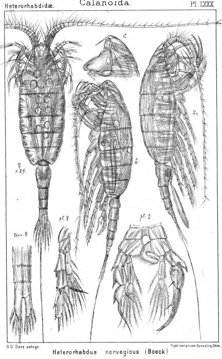 Heterorhabdus norvegicus from Sars, G.O. 1902