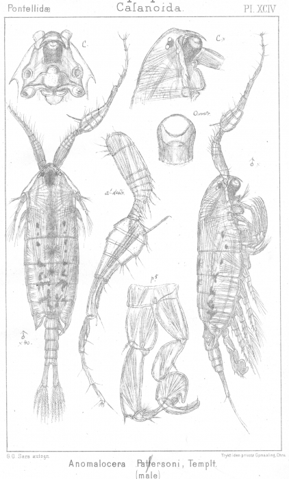Anomalocera patersoni from Sars, G.O. 1902