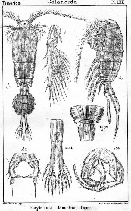 Eurytemora lacustris from Sars, G.O. 1902