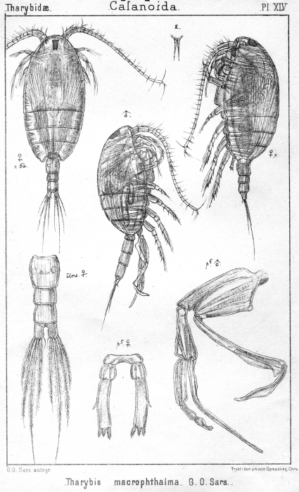 Tharybis macrophthalma from Sars, G.O. 1902