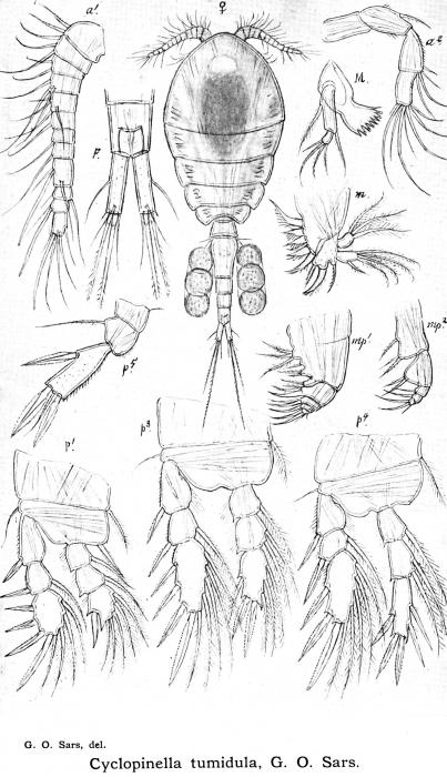 Cyclopinella tumidula from Sars, G.O. 1913