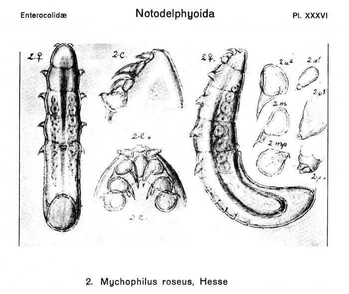 Mychophilus roseus from Sars, G.O. 1921