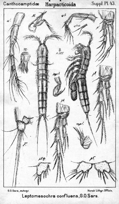 Leptomesochra confluens from Sars, G.O. 1911