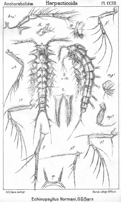 Echinopsyllus normani from Sars, G.O. 1909