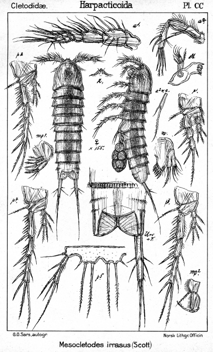 Mesocletodes irrasus from Sars, G.O. 1909