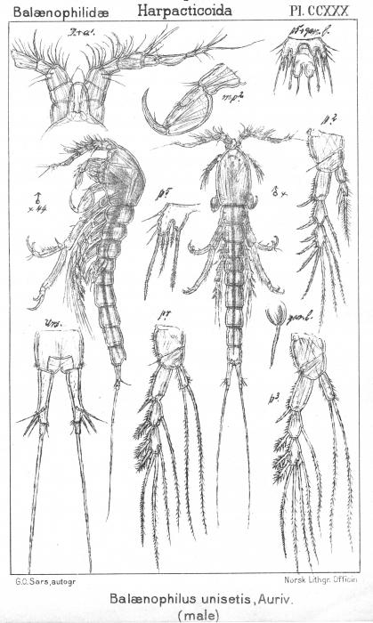 Balaenophilus unisetus (male) from Sars, G.O. 1910