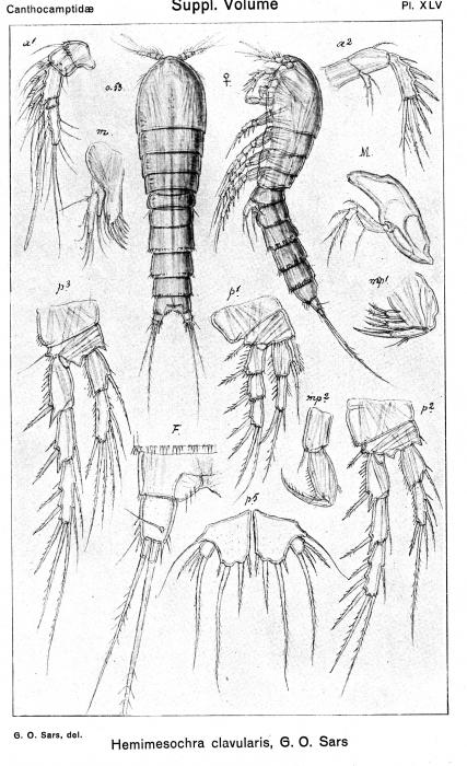 Hemimesochra clavularis from Sars, G.O. 1920